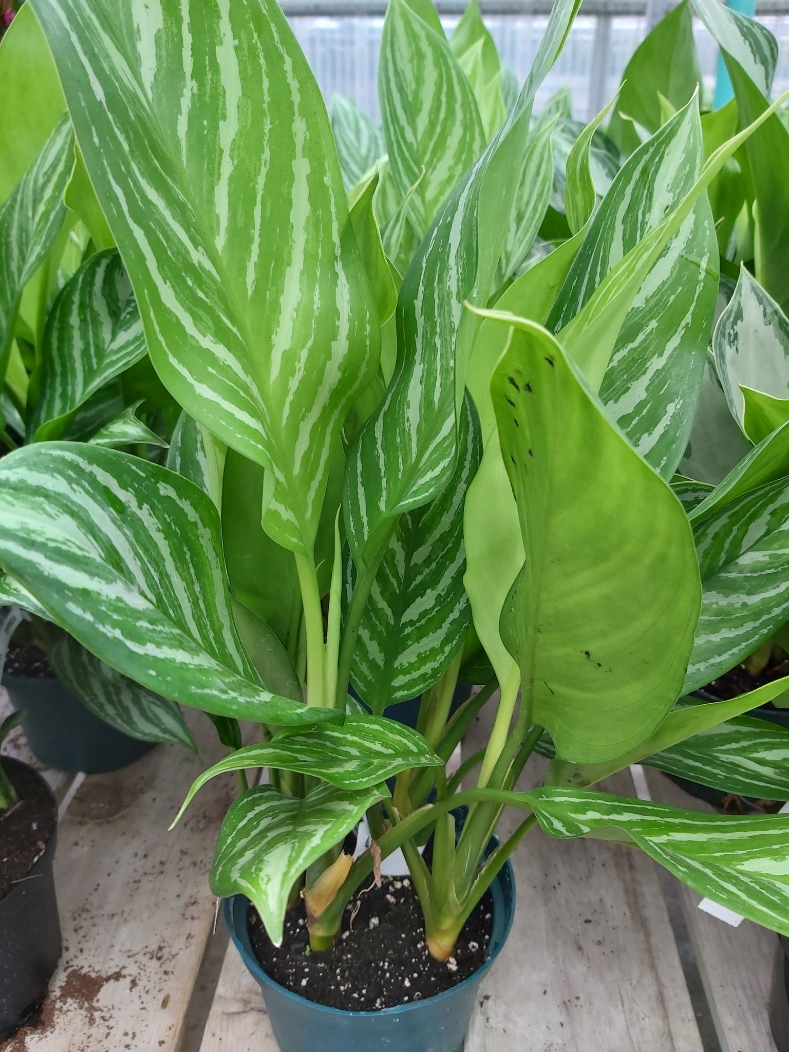 "Aglaonema Stripes 6"" Pot"