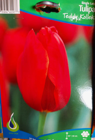 Bulbs Tulip Teddy Kollek 10/pkg