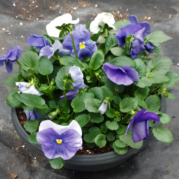"Pansy Bowl 10"" Pot - Assorted Colours"
