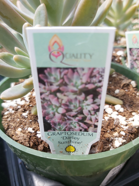 "Succulent Graptosedum Darley Sunshine 4"" Pot"