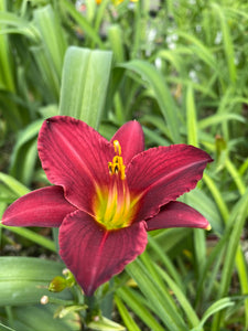 "Hemerocallis - Stella in Purple 5.5"" Pot"