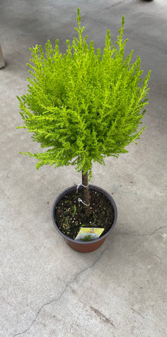 "Cypress Goldcrest 1-Ball Topiary 6"" Pot"