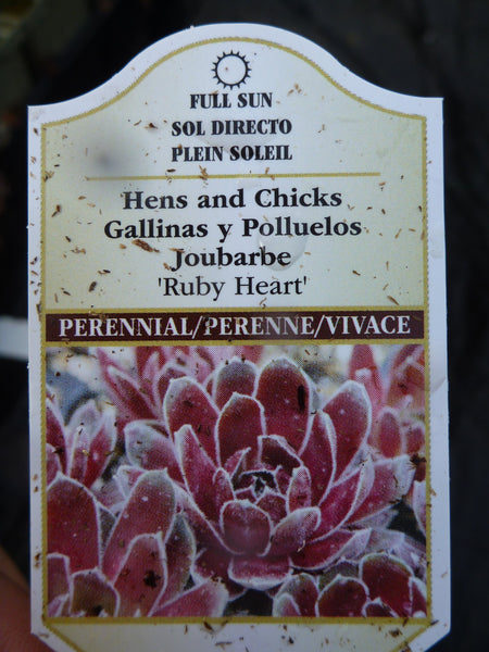 "Sempervivum - Ruby Heart 3.5"" Pot"