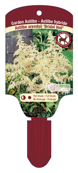 "Astilbe Bridal Veil 5.5"" Pot"