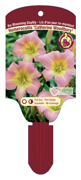 "Hemerocallis - Catherine Woodberry 5.5"" Pot"