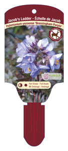 "Polemonium - Bressingham Purple 5.5"" Pot"