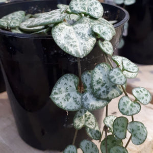 String of Hearts 9cm Pot