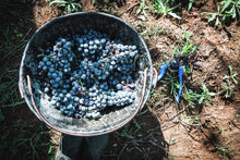 Load image into Gallery viewer, wine grapes harvesting photo for printing