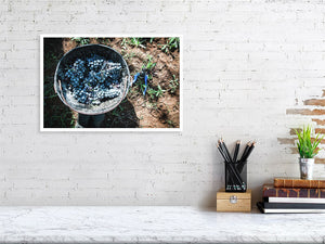 30.7 cm x 45.0 cm, 12.1 inches x 17.7 inches wine grapes harvest print