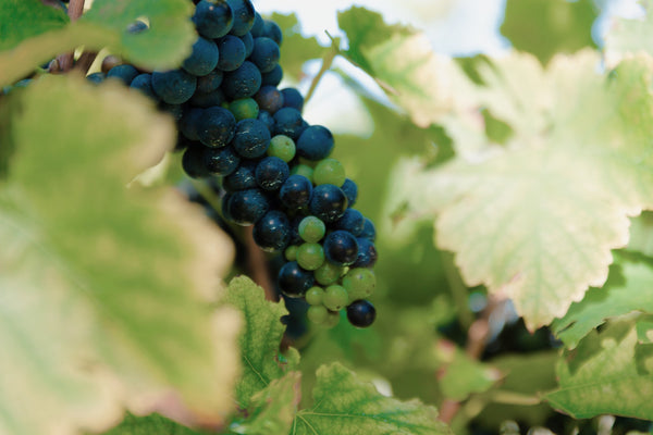 A year in the life of a wine grape