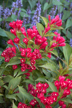 Load image into Gallery viewer, Weigela - Crimson Kisses