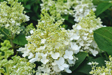Load image into Gallery viewer, Hydrangea - Baby Lace