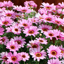 Load image into Gallery viewer, Agryranthemum - Grandessa® Pink Halo Marguerite Daisy