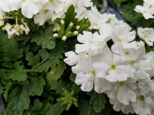 Load image into Gallery viewer, Verbena - Trailing Lanaii White