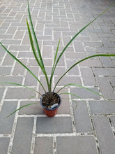 Load image into Gallery viewer, Dracaena - Spike