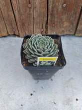 "Load image into Gallery viewer, 2.5"" potted Succulents"