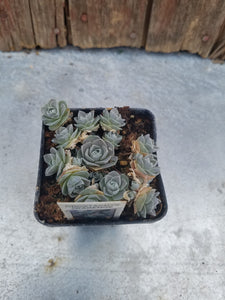 "2.5"" potted Succulents"