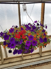 "Load image into Gallery viewer, Caribbean Nights 14"" Hanging Basket"