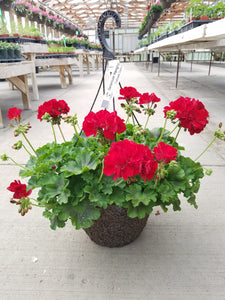 "Calliope Dark Red Geranium 12"" Hanging Basket"