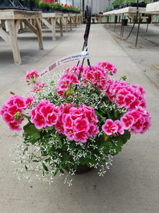 "Calliope Rose Mega Splash Geranium with Euphorbia 12"" Hanging Basket"