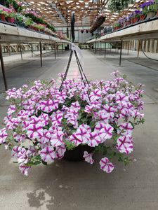 "Lovie Dovie Supertunia 12"" Hanging Basket"