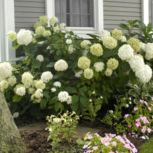 Load image into Gallery viewer, Hydrangea - Annabelle