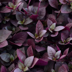 Alternanthera - Proven Accents® Plum Dandy™