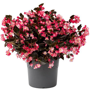 Begonia - Viking Pink on Chocolate