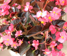Load image into Gallery viewer, Begonia - Viking Pink on Chocolate