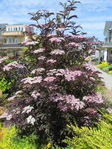 Sambucus - Black Lace® Elderberry