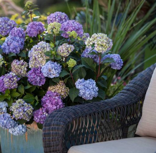 Hydrangea - Endless Summer® BloomStruck® Bigleaf