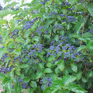 Viburnum - Blue Muffin® Arrowwood
