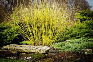 Cornus - Bud's Yellow Dogwood