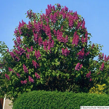 Load image into Gallery viewer, Syringa - Charles Joly Lilac