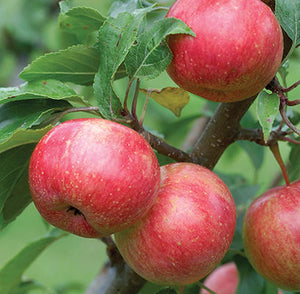 Apple - Semi Dwarf - Chestnut Crabapple