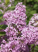 Load image into Gallery viewer, Syringa - Chinese Lilac