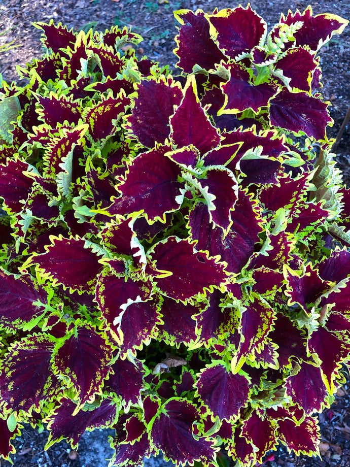 Coleus - Stained Glassworks Crown Jewel