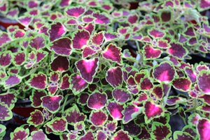 Coleus - Stained Glassworks Trailing Monarch