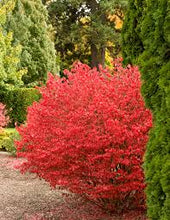 Load image into Gallery viewer, Euonymus - Dwarf (Compact) Burning Bush