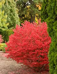 Euonymus - Dwarf (Compact) Burning Bush