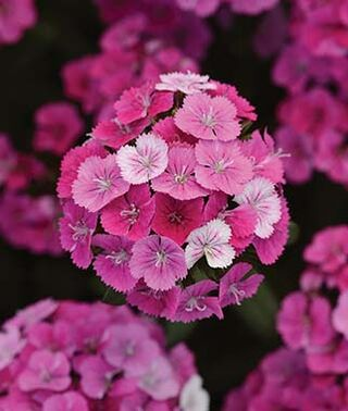 Dianthus - Jolt Pink Magic
