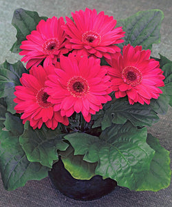 Gerbera Daisy - Royal Deep Rose