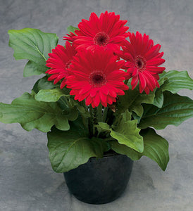 Gerbera Daisy - Royal Red