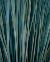 Load image into Gallery viewer, Juncus - Blue Mohawk