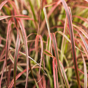 Pennisetum - Fireworks Fountain Grass