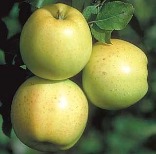 Apple - Semi Dwarf - Honeygold