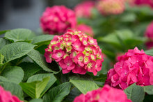 Load image into Gallery viewer, Hydrangea - Endless Summer - Summer Crush