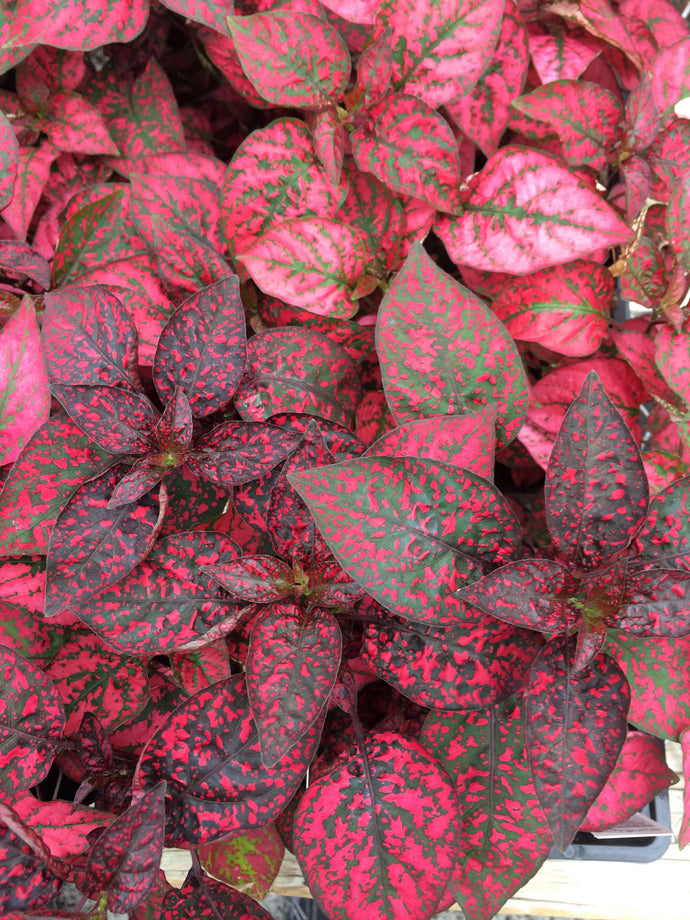 Hypoestes - Polka Dot Plant Splash Red