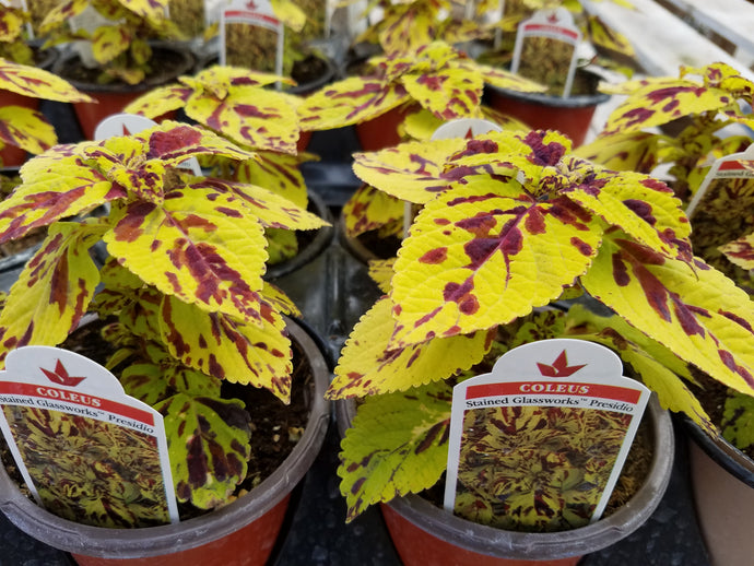 Coleus - Stained Glassworks Presido