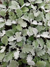 Load image into Gallery viewer, Dusty Miller - Silver Dust
